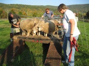 sheep crew